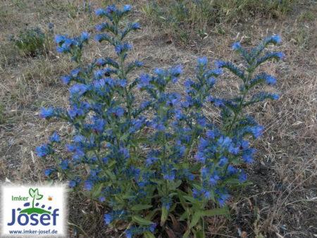 Echium vulgare – blauer Natternkopf,  9 Stck.