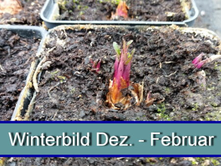 Silphium perfoliatum  – durchwachsene Silphie