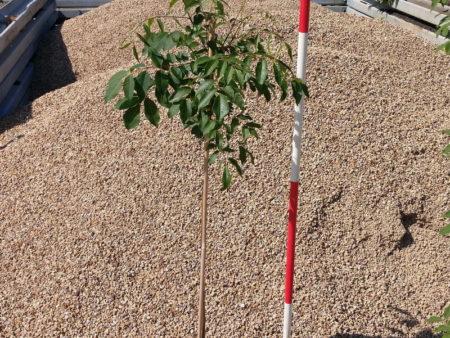 Tetradium daniellii – Bienenbaum, Jungbaum, 3-jährig