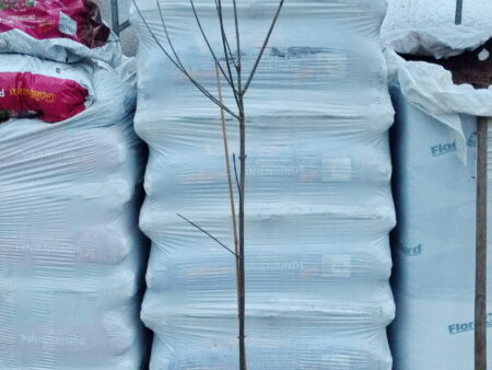 Tetradium daniellii – Bienenbaum <br> Baum, ca. 175 cm hoch