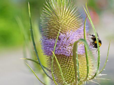 Dipsacus fullonum – wilde Karde, 9 Stck. Jungpflanze