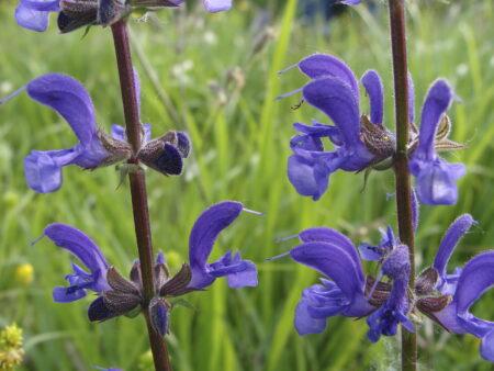 Salvia pratensis – Wiesensalbei, ca. 400 Korn
