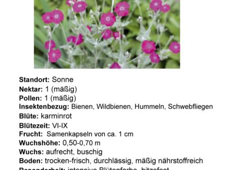 Silene coronaria – Kronen-Lichtnelke <br> 12 Stck. im Topf