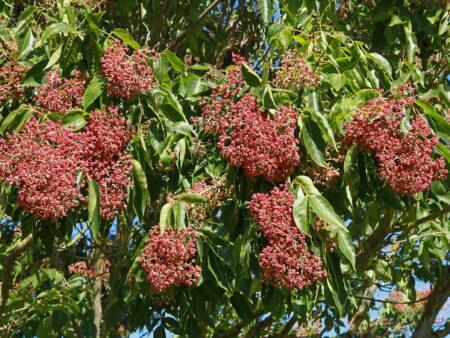 Tetradium daniellii – Bienenbaum, ca. 100  Korn
