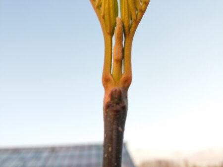 Tetradium daniellii – Bienenbaum <br> 2 Stck. im Topf,  ca. 45-55 cm