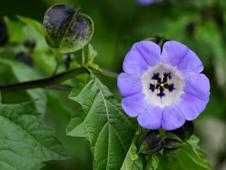 Nicandra physalodes – Lampionblume, ca. 1.000 Korn