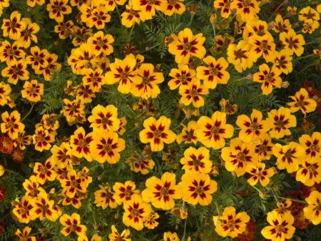 Tagetes erecta 'Ingrid-Marie' – Studentenblume, ca. 150 Korn