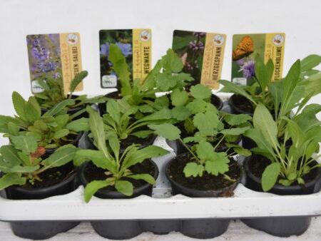 12 Stck. heimische Wildpflanzen  <br> in 4 verschiedenen Sorten