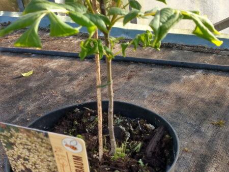 Tetradium daniellii – Bienenbaum <br> 2 Stck. im Topf,  ca. 35-40 cm
