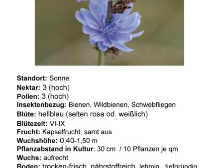 Cichorium intybus – gemeine Wegwarte <br> 1 gr., ca. 800 Korn