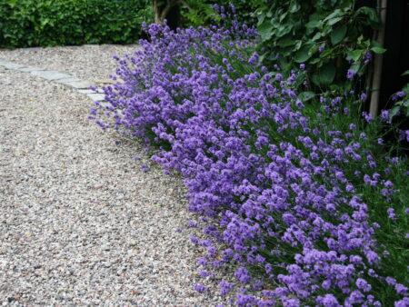 Echter Lavendel – Lavendula 'Hidcote Blue'  <br> 12 Stck. im Topf